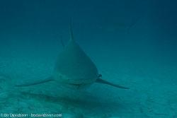 BD-101205-Playa-del-Carmen-2598-Carcharhinus-leucas-(Müller---Henle.-1839)-[Bull-shark.-Tjurhaj].jpg